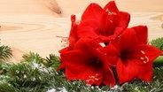 Ein rot blühender Ritterstern liegt auf einem mit Kunstschnee dekorierten Tannenzweig. © fotolia Fotograf: sommersprossen