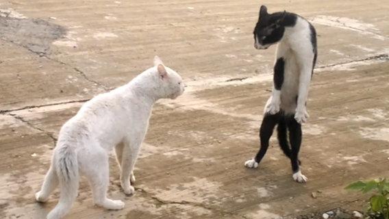 Eine Katze steht aufrecht auf ihren Hinterläufen, wie Altkampfmeister Buce Lee ( Screenshot). © NDR Foto: Screenshot