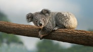 Ein Baby-Koala liegt auf einem Ast. © picture alliance/Anka Agency International Fotograf: Gerard Lacz
