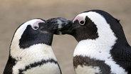 Zu sehen sind zwei schnäbelnde Brillen Pinguine. © picture alliance / blickwinkel Fotograf:  C. Wermter