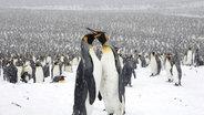 Zu sehen sind zwei sich kabbelnde Königspinguine vor einer ganzen Gruppe. © picture alliance / blickwinkel Foto: S. Meyers