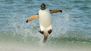 Ein Pinguin springt aus dem Meer © picture alliance / Photoshot