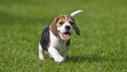 Ein Hundewelpe auf einer Wiese. © Picture Alliance / blickwinkel Fotograf: PICANI/A. Sommer