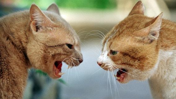 Zwei angriffslustige Hauskatzen ©  picture alliance / Arco Images GmbH
