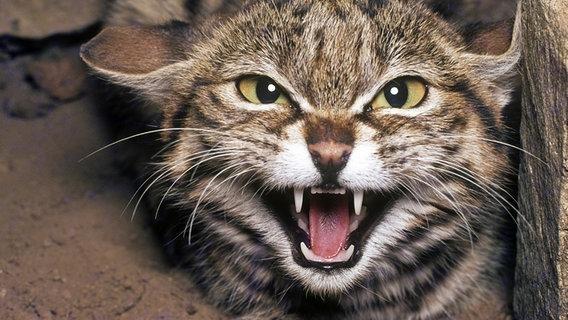 Eine aggressive Black-Foooted Wildkatze © Photoshot / picture alliance