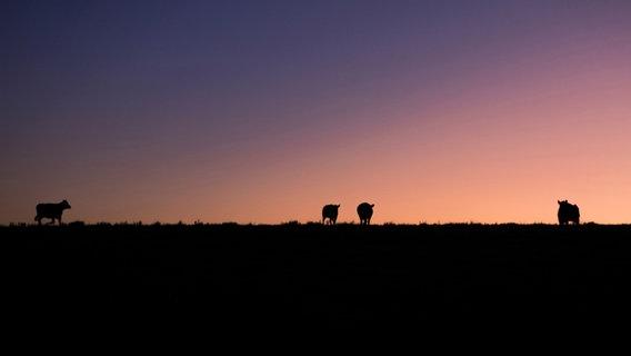 Im Hintergrund geht die Sonne unter, während auf dem Deich Tiere grasen. © Catalenca / photocase.de