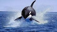 Ein Orca springt aus dem Wasser. © picture alliance/Anka Agency International Foto: Gerard Lacz
