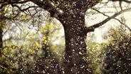 Ein Baum, unter dem viele Pollen fliegen. © picture alliance/chromorange Foto: CHROMORANGE / Christian Ohde