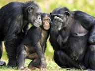 Zwei ausgewachsene Schimpansen scheinen einem jungen Exemplar etwas zuzuflüstern. © picture alliance / Arco Images GmbH