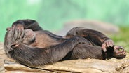 Ein Schimpanse liegt mit der linken Hand vor den Augen auf einem Baumstamm. © picture-alliance/ dpa Foto: Uwe Anspach