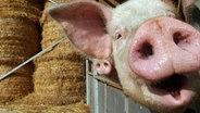 Schwein blickt in die Kamera © dpa