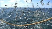 Viele Möven auf See, die über ein Fischnetz fliegen.