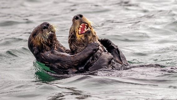 Finalist des Comedy Wildlife Photography Awards 2019: Otterkampf im Wasser. © Andy Harris / Comedy Wildlife Photography Awards 2019 Foto: Andy Harris