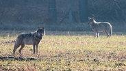 Zwei Wölfe auf einer Wiese. © picture alliance / dpa Fotograf:  Konstantin Knorr