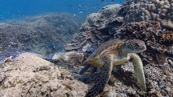 Bild eines Riffs des australischen Great Barrier Reefs mit Schildkröte. © Google