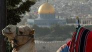 Ein Kamel vor dem Tempelberg in Jerusalem. © NDR Fotograf: Simon Kremer